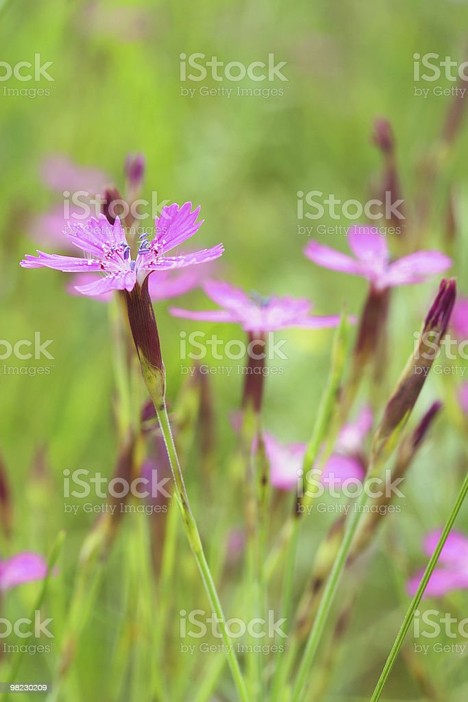 Wild carnations royalty-free stock photo