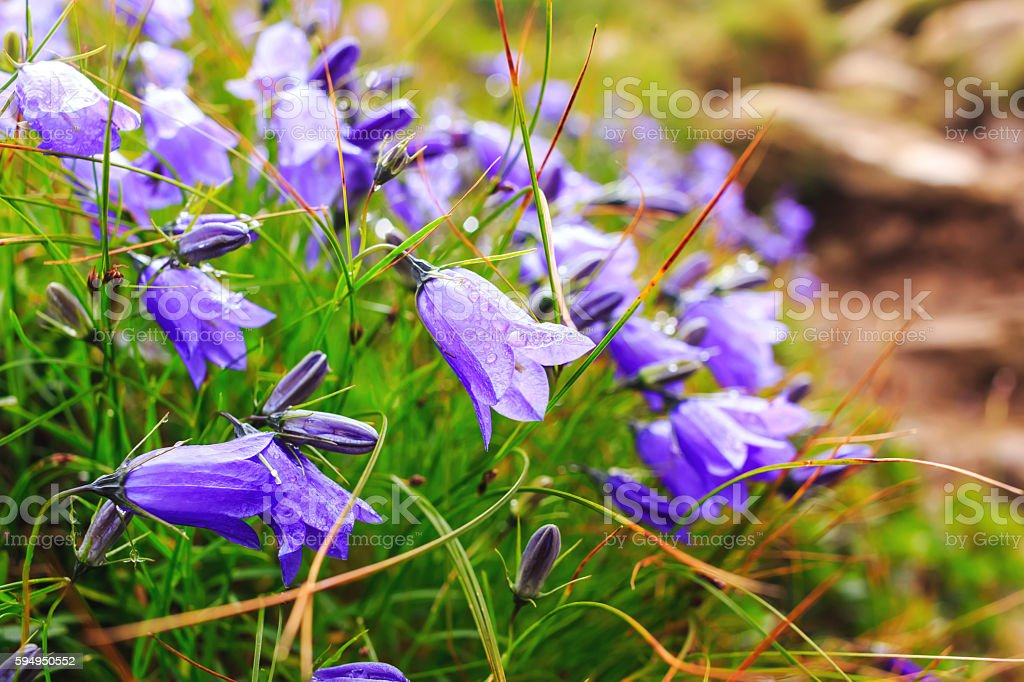 Wild carpathian bellflower Campanula carpatica, Ukraine. stock photo