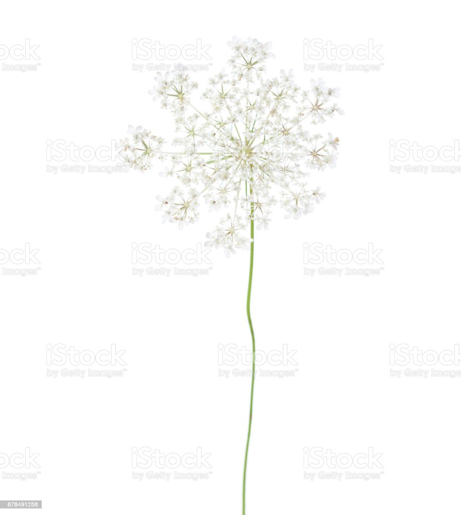 Wild carrot (Daucus carota) flower isolated  on white background. stock photo