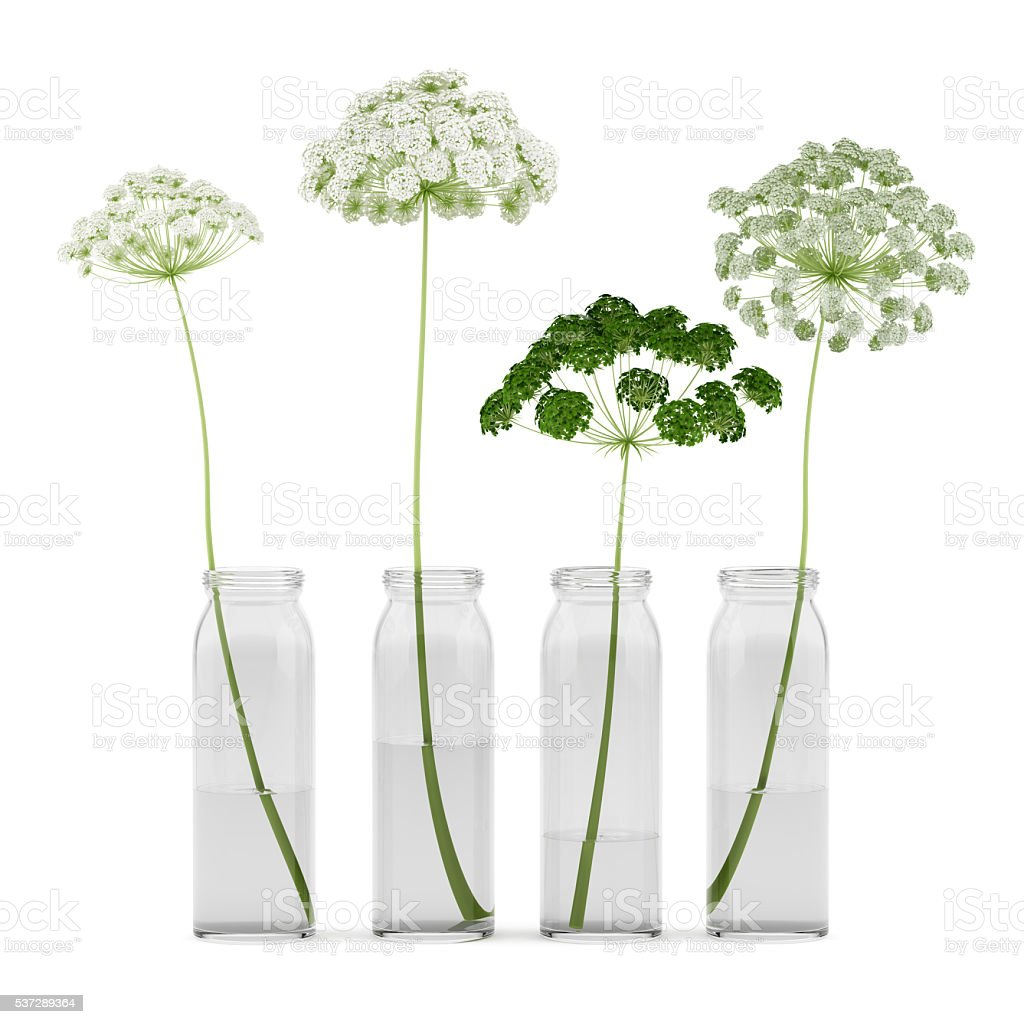 wild carrot flowers in jars isolated on white background stock photo