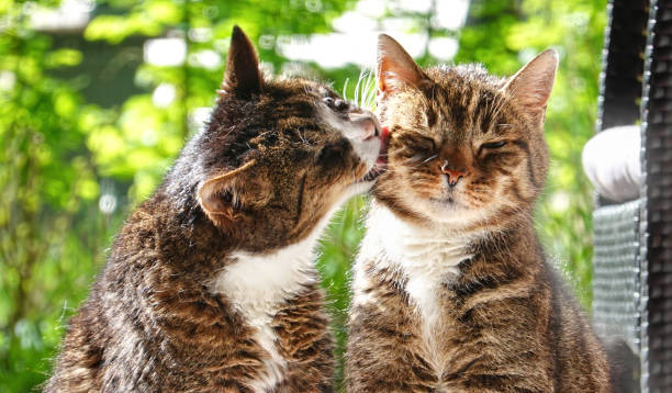 Wild cat and domestic cat have friendship stock photo