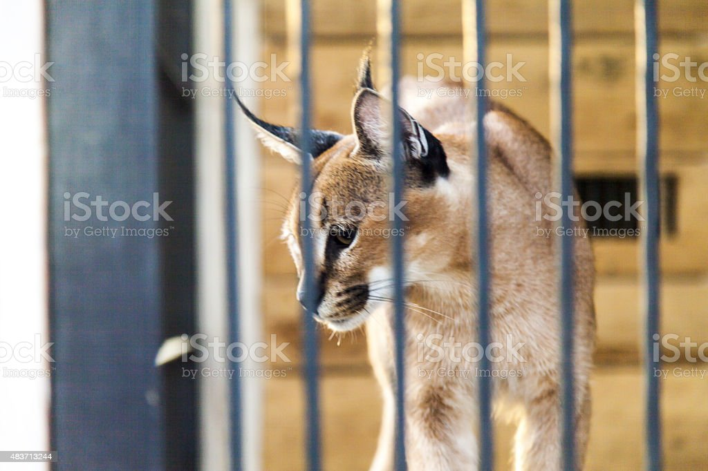 Wild cat in a cage stock photo