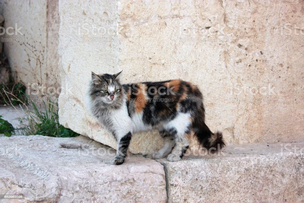 Wild cat in ancient city Jerash in Jordan, Middle stock photo