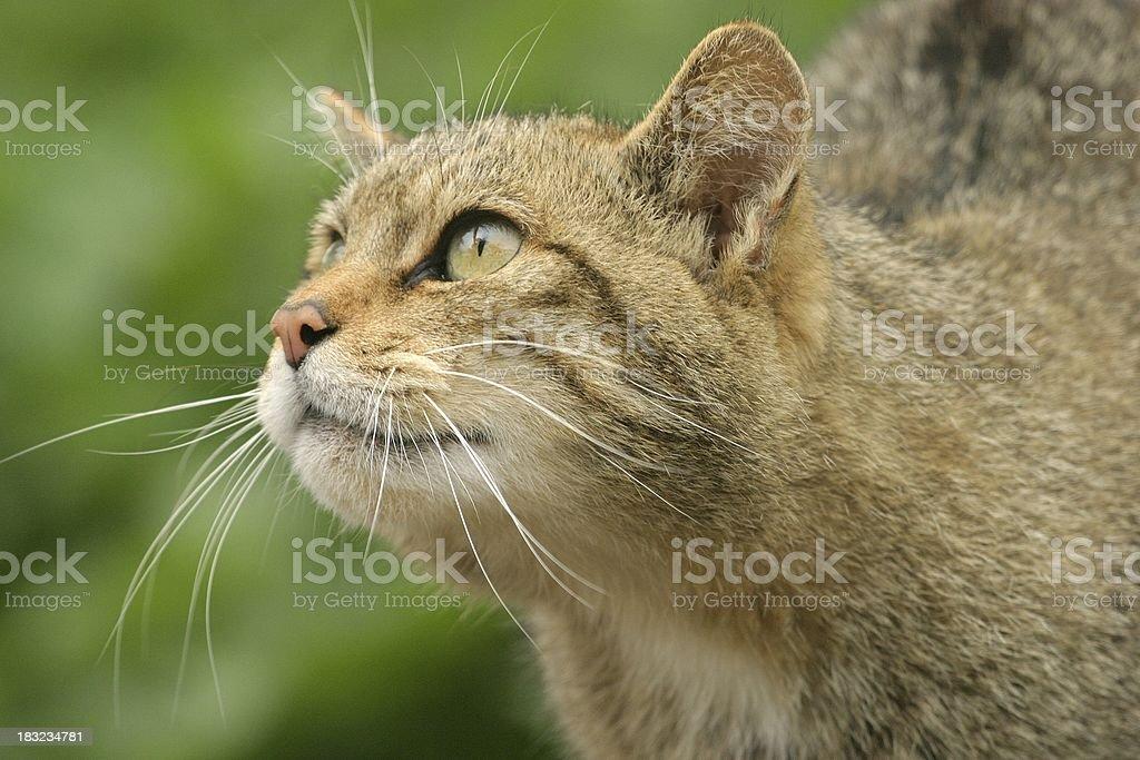 Wild cat looking up stock photo