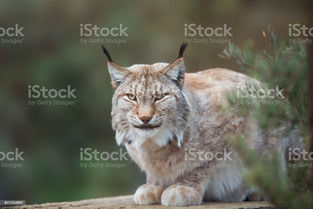Wild cat Lynx in the nature forest habitat stock photo