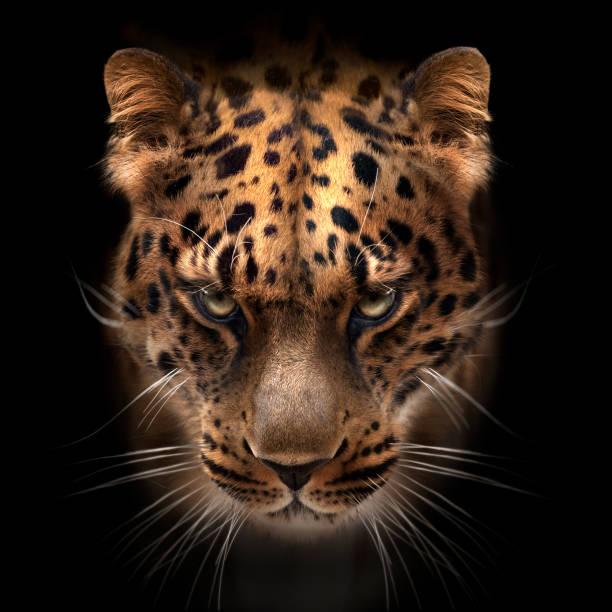 wilde katzen nahaufnahme porträts - schwarzer puma stock-fotos und bilder