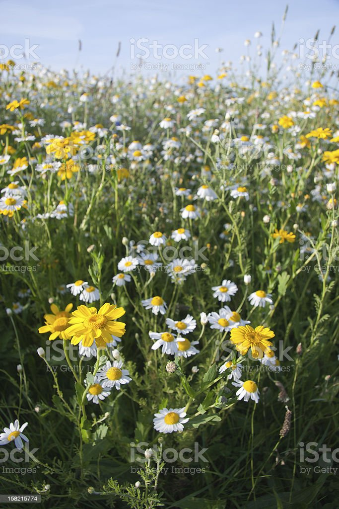 Wild Chamomile and Yellow Daisies royalty-free stock photo