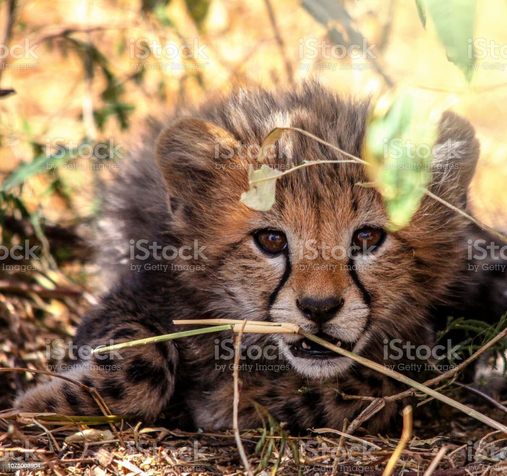 Wild Cheetah Cub stock photo