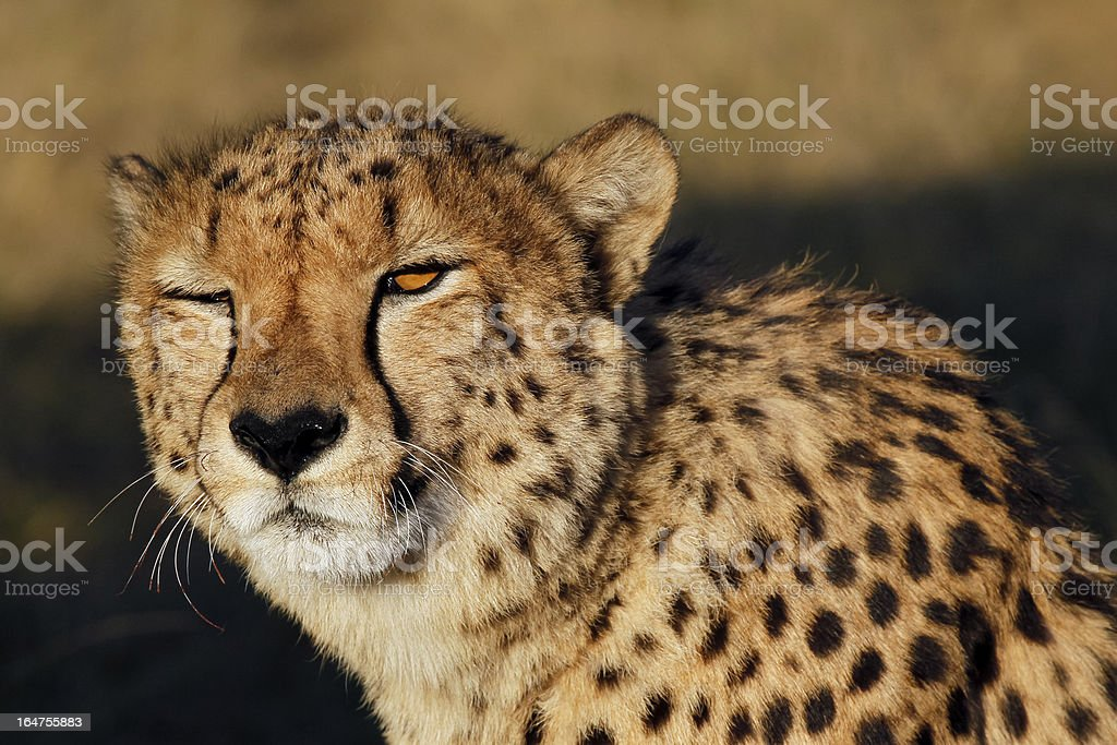 Wild cheetah in the national park royalty-free stock photo