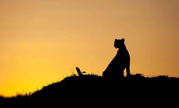 Wild cheetah picture id495871139?b=1&k=6&m=495871139&s=612x612&w=0&h=eq2nmkgolvuc9yjry0m2imgvjpczjlkjsqvuvphh38c=