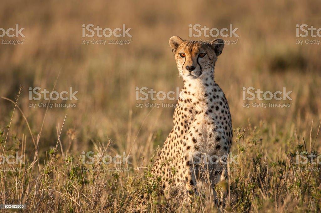 Wild Cheetah Sitting Looking Out Across the Savanna stock photo