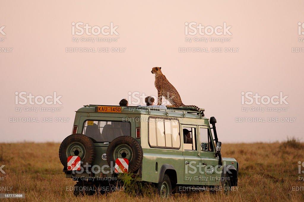 Wild Cheetah sala de estar en el último piso de Safari vehículo - foto de stock