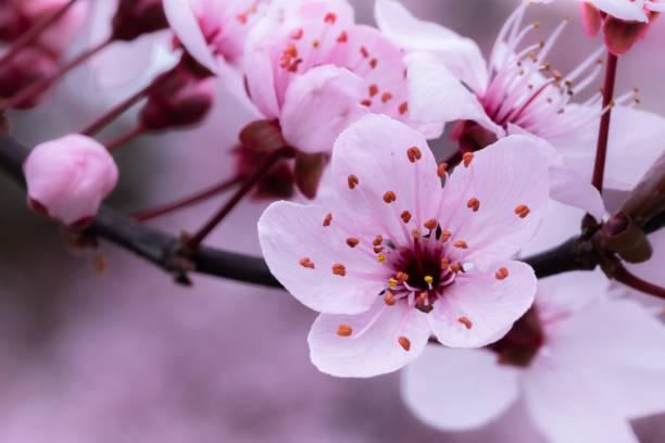 wilde kirschblüte - matthias gaberthüel stock-fotos und bilder