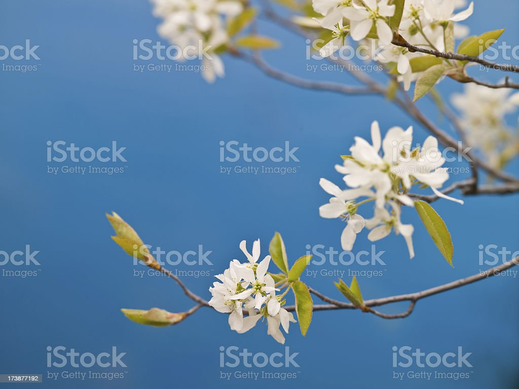 Wild cherry blossoms in spring royalty-free stock photo