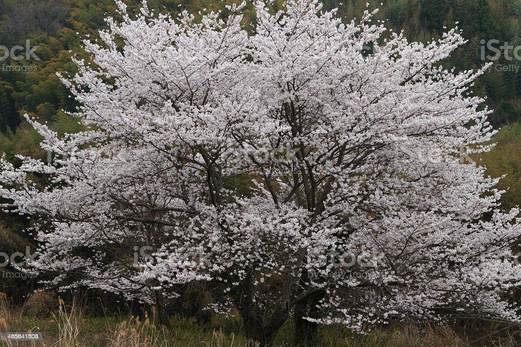 野生の桜 ロイヤリティフリーストックフォト