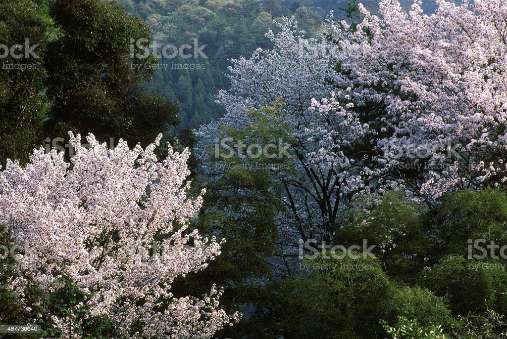 野生の桜 ストックフォト