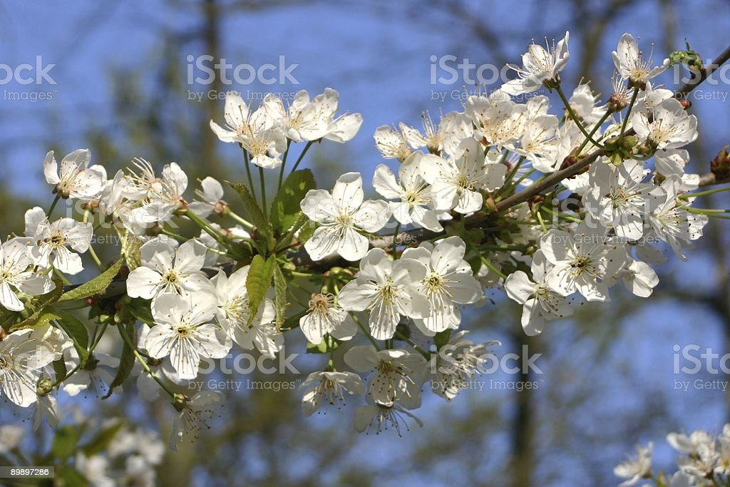 Wild cherry tree flowers royalty-free stock photo