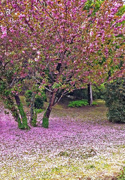 Pianta Fiori Rosa.Pianta Di Ciliegio Selvatico Con Fiori Rosa Stock Photo Download