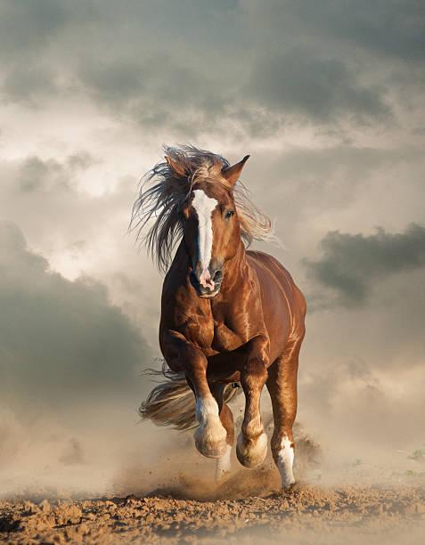 wild chesnut draft horse running - 種馬 個照片及圖片檔