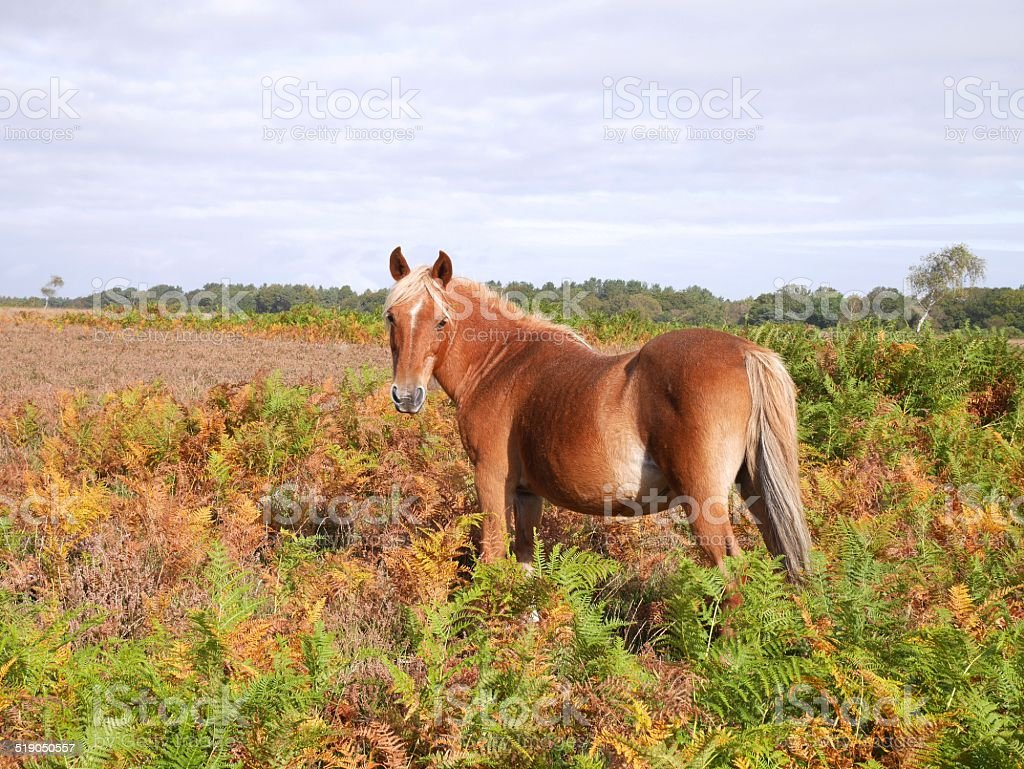 wild chestnut horse autumn new forest national park stock photo
