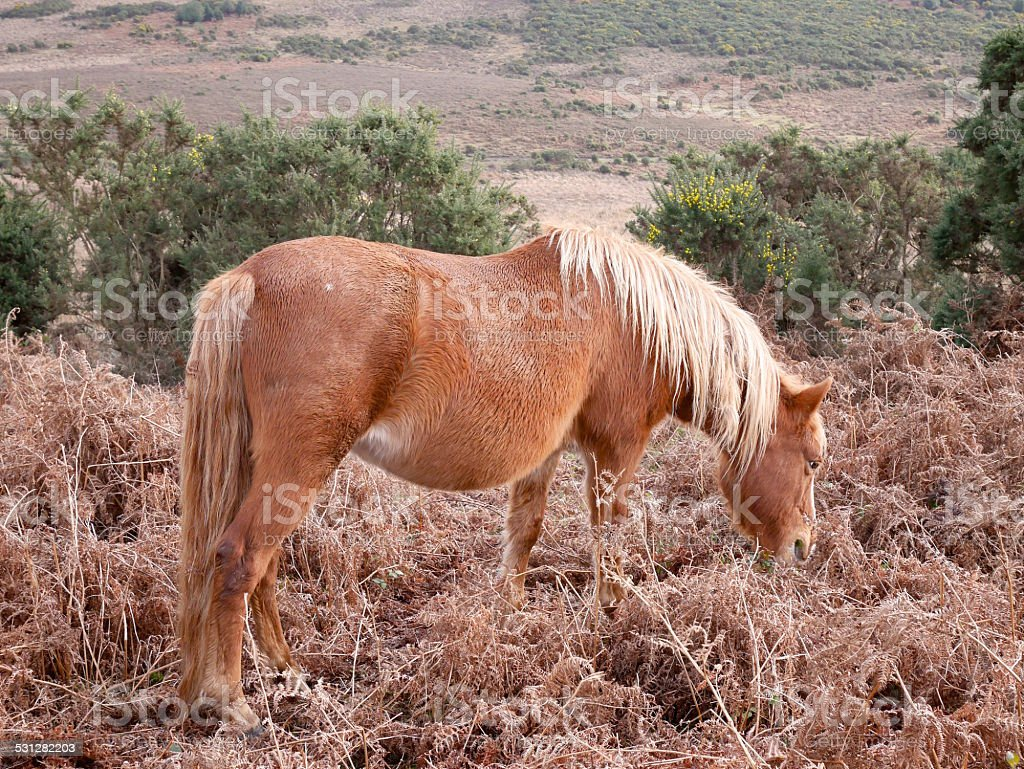 wild chestnut horse eating new forest winter bracken stock photo