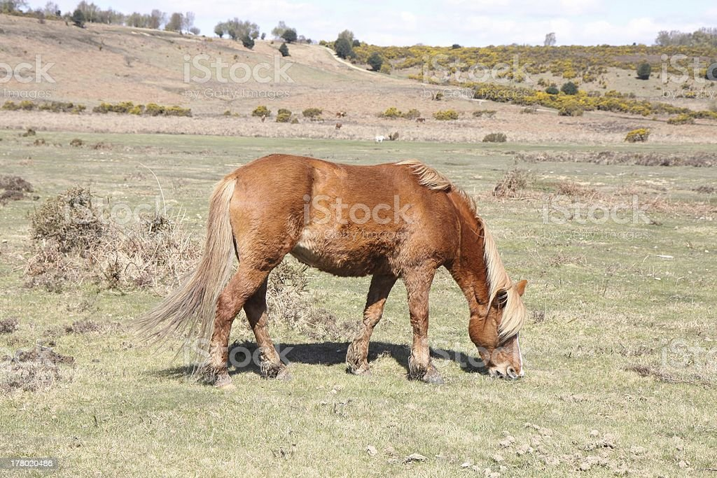 wild chestnut horse forages on heathland new forest national park royalty-free stock photo