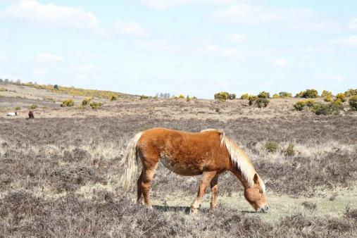 wild chestnut horse forages on heathland new forest national park