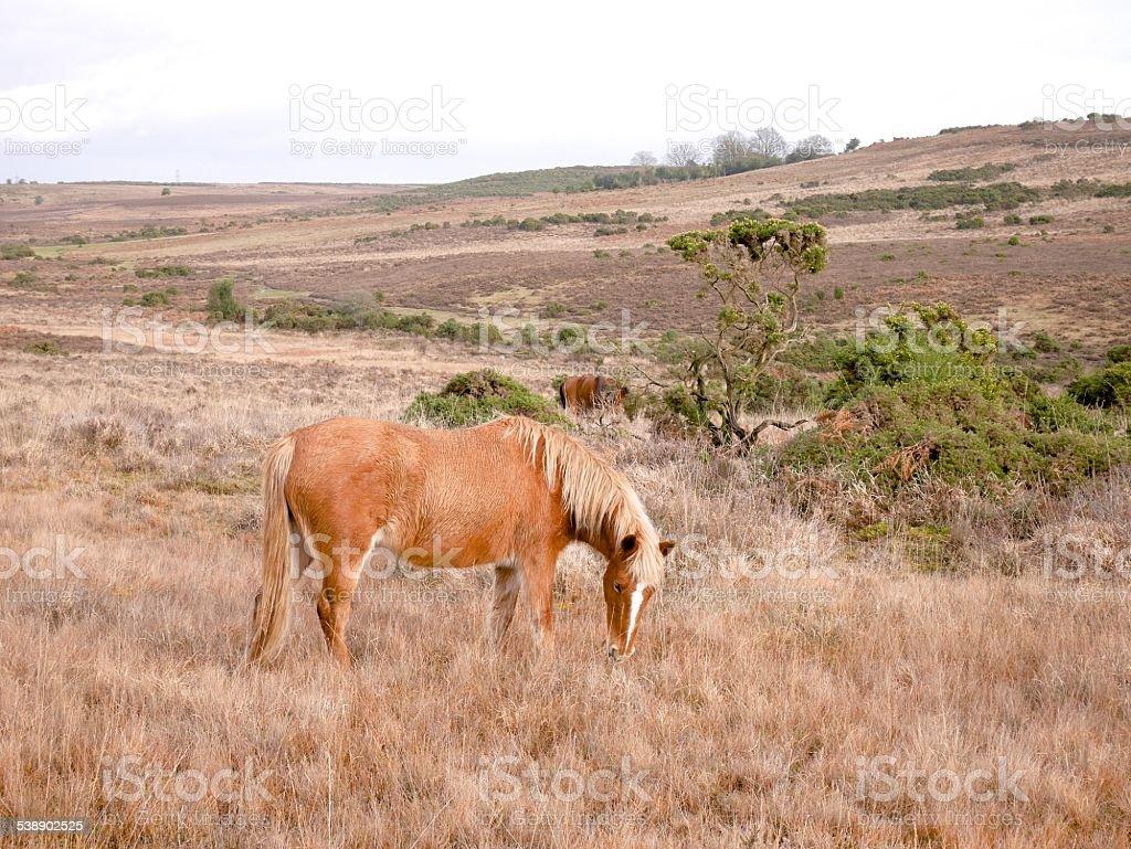 wild chestnut horse grazing new forest moor winter stock photo