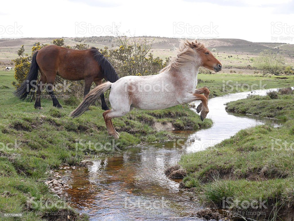 Wild Chestnut Horse Jumping Stream New Forest National Park Stock Photo Download Image Now Istock
