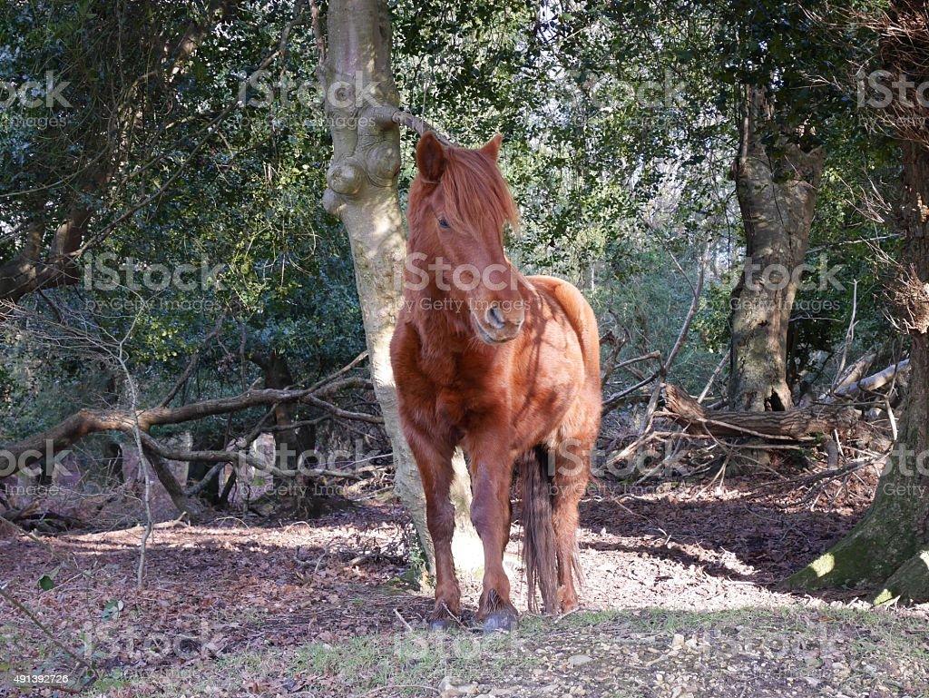 wild chestnut pony standing in new forest woodland winter sun stock photo