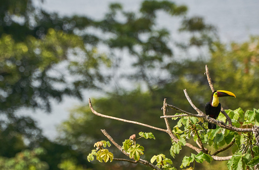 Wild Chestnut-Mandibled Toucan Tropical Bird in Corcovado National Park on the Osa Peninsula in Costa Rica