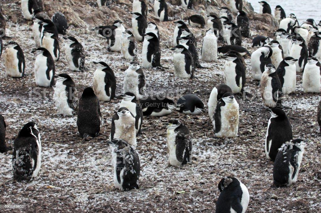 Wild chinstrap penguin stock photo