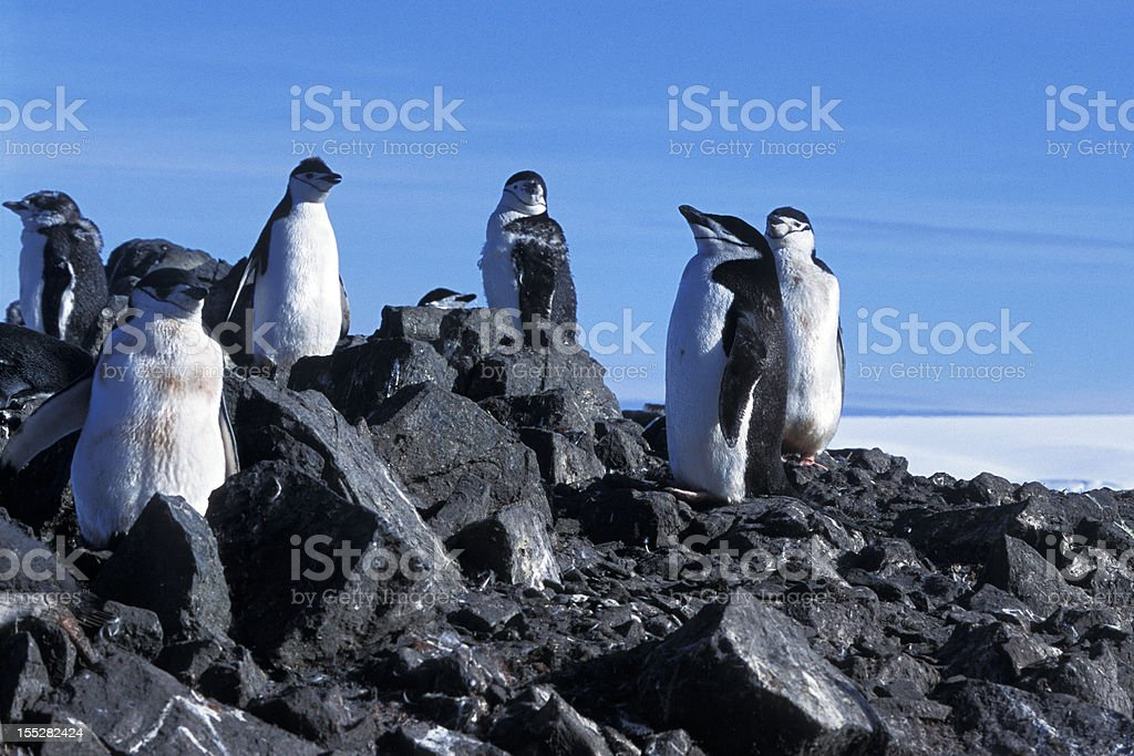 Wild Chinstrap Penguins on Rocky Outllook royalty-free stock photo