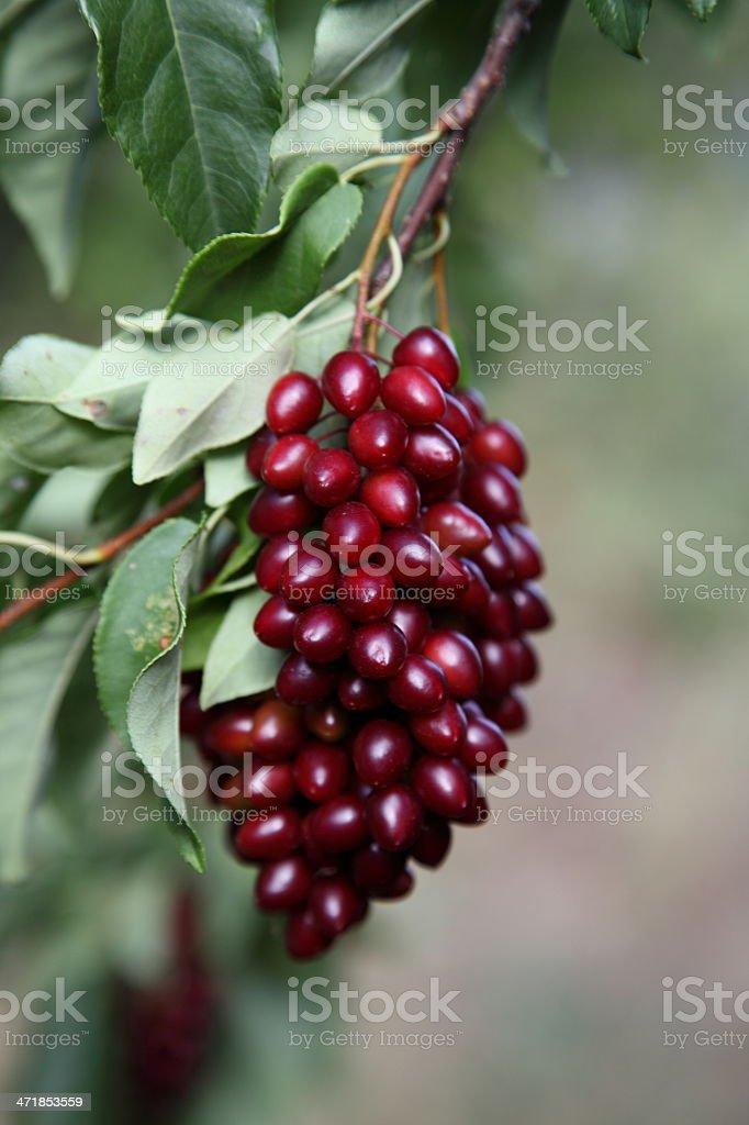 Wild chokecherry (Prunus virginiana) fruit on a branch. royalty-free stock photo