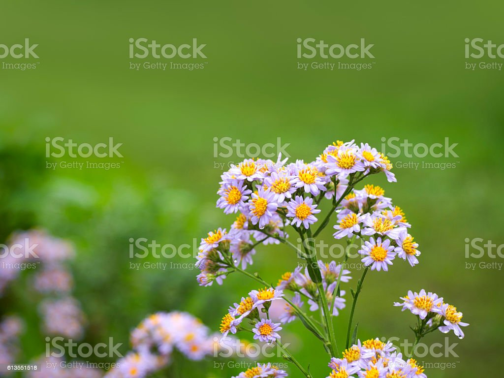Wild chrysanthemum of lilac that blooms in autumn ストックフォト