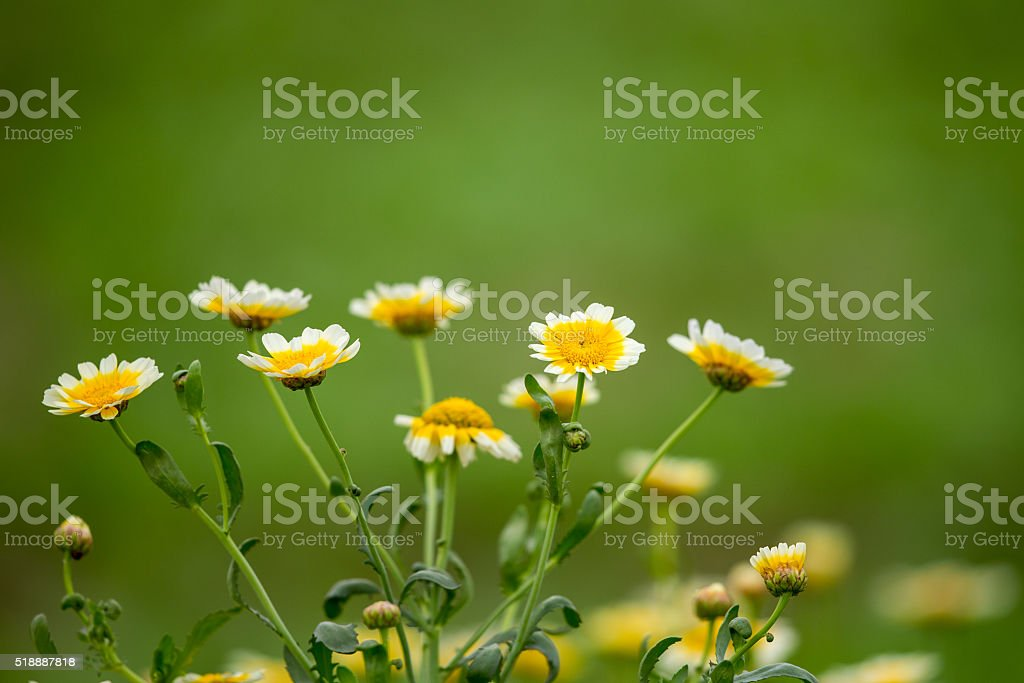 Wild chrysanthemum with green background stock photo