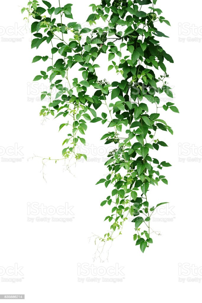 Wild climbing vine, Cayratia trifolia (Linn.) Domin. liana plant isolated on white background, clipping path included. Hanging branches of jungle vines. stock photo