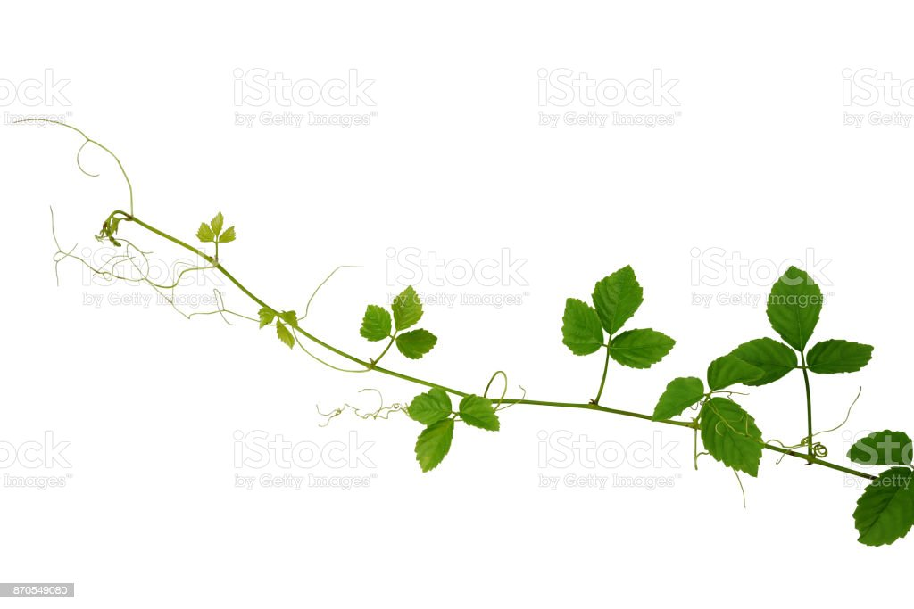 Wilde Kletterpflanze, Cayratia Trifolia (Linn.) Domin. Liane Pflanze isoliert auf weißem Hintergrund, Schneidepfad enthalten. – Foto