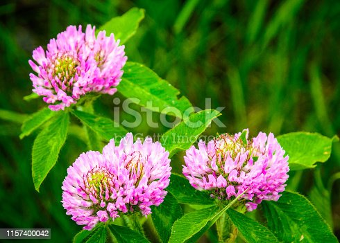A close up of wild clover blossoms in full bloom.