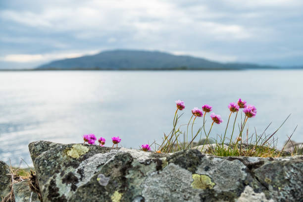 Wild coastal flowers growing on rocks on the shores stock photo wild coastal flowers growing on rocks on the shores stock photo more pictures of argyll and bute istock mightylinksfo