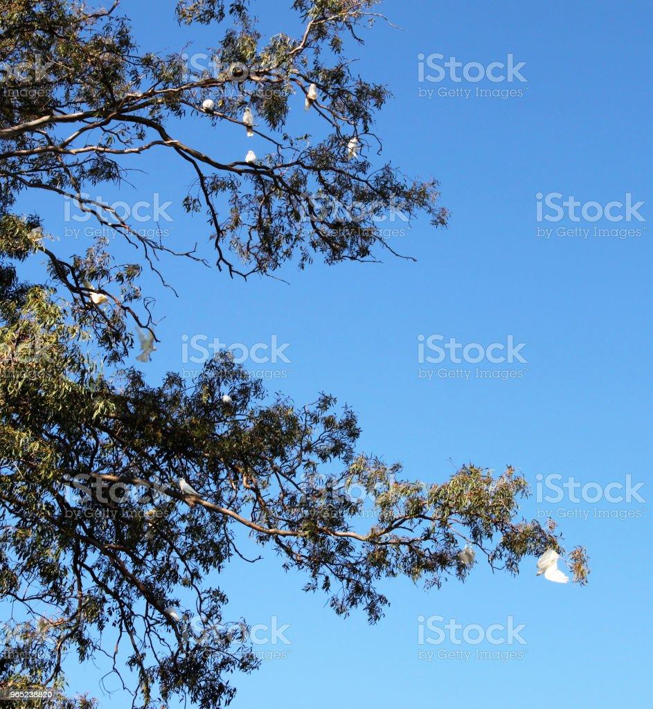 Wild cockatoo birds in a gum tree with some hanging upside down like bats zbiór zdjęć royalty-free