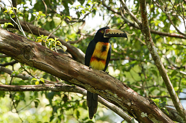 Wild Collared Aracari