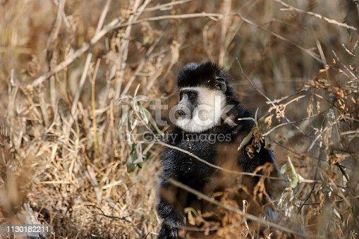 Wild black and white colobus monkey sitting on the ground.  Taken at Lake Nakuru, Kenya, Africa.