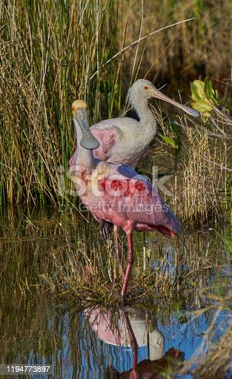 Wild along the mangrove coast of the Atlantic Ocean at the Merritt Island National Wildlife Refuge on the Space Coast of Florida.