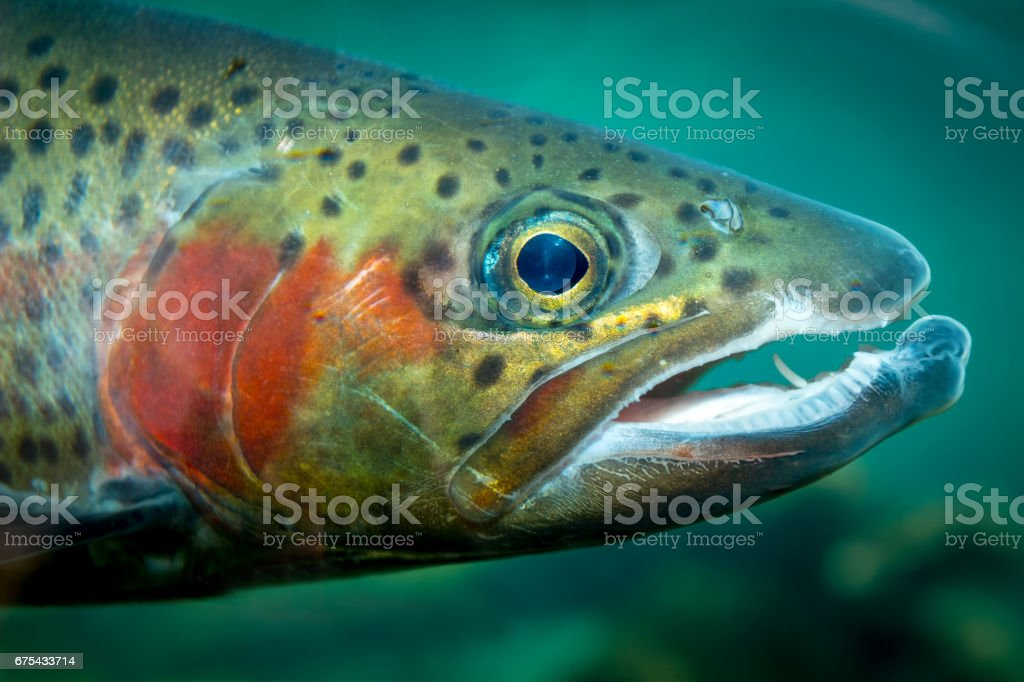 Wild colorful trough close up with red cheeks royalty-free stock photo