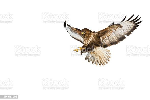 Photo of Wild common buzzard in flight catching with claws isolated on white background