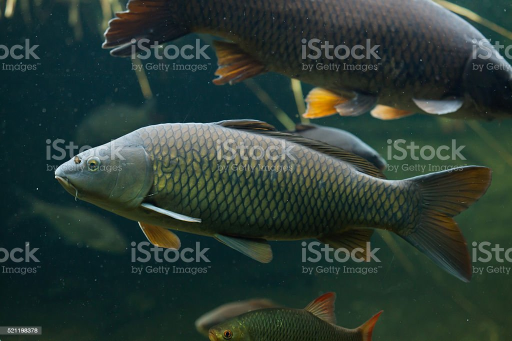 Wild common carp (Cyprinus carpio). stock photo