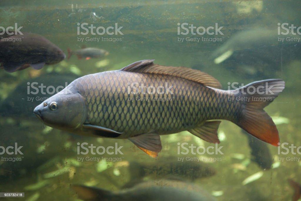 Wild common carp (Cyprinus carpio) stock photo