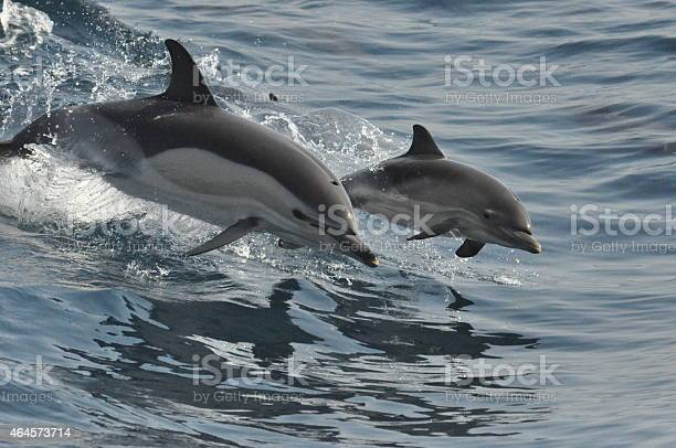 Wild common Dolphin and Calf  playing and breaching in the waves