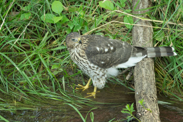 One of three juvenile Cooper's hawks hops down to the Harriman Ditch waters for a drink in Denver, Colorado.